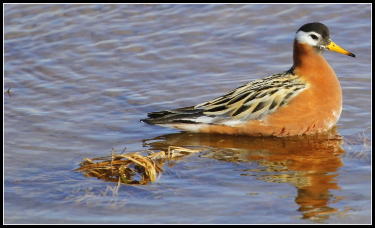 Photo (2): Red Phalarope