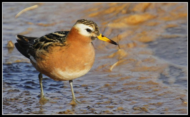 Photo (1): Red Phalarope