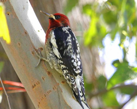 Photo (2): Red-breasted Sapsucker