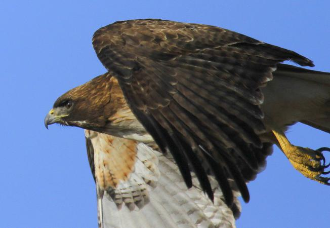 Photo (7): Red-tailed Hawk