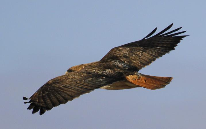 Photo (2): Red-tailed Hawk