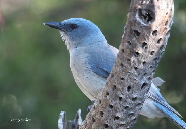 Photo (6): Mexican Jay