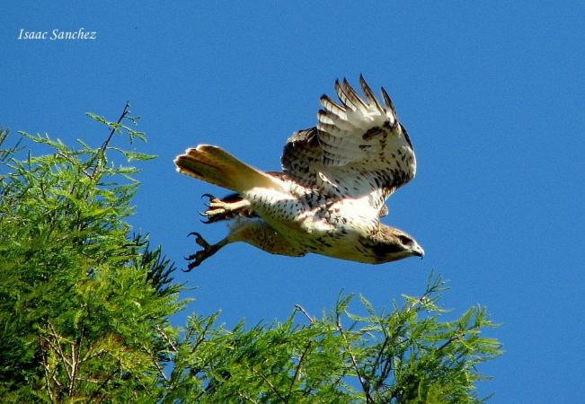 Photo (11): Red-tailed Hawk
