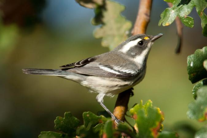 Photo (3): Black-throated Gray Warbler