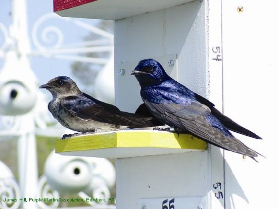 Photo (1): Purple Martin
