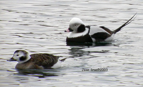Photo (6): Long-tailed Duck