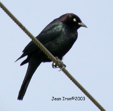 Photo (3): Brewer's Blackbird