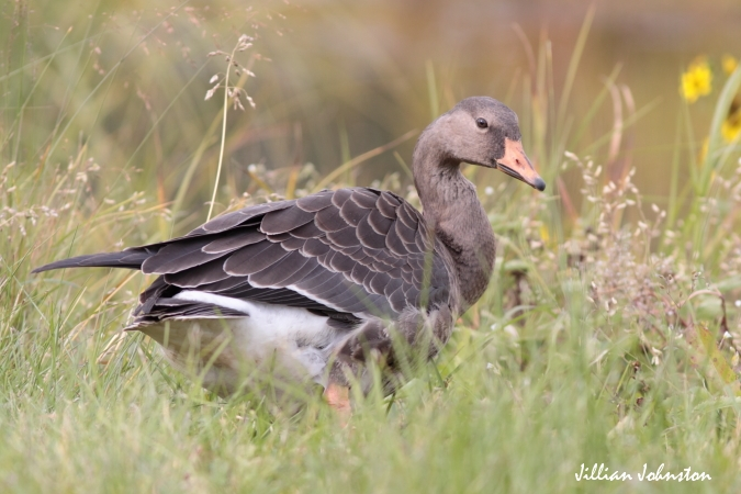 Photo (15): Greater White-fronted Goose