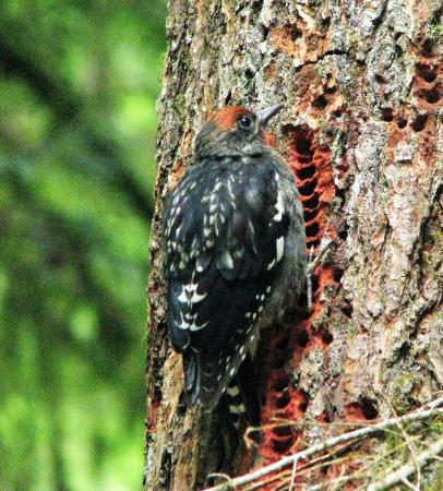 Photo (5): Red-breasted Sapsucker