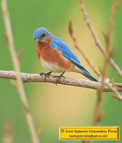 Photo (24): Eastern Bluebird