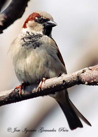 Photo (11): House Sparrow