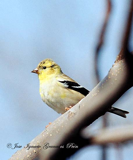Photo (8): American Goldfinch