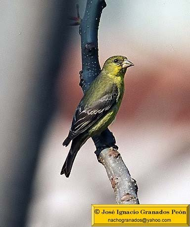 Photo (10): American Goldfinch