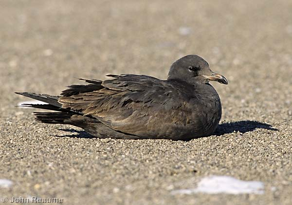 Photo (21): Heermann's Gull