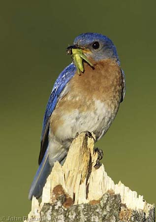 Photo (22): Eastern Bluebird