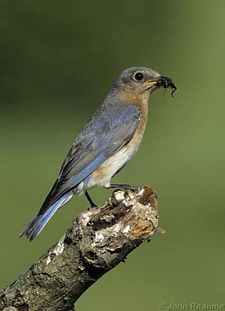Photo (6): Eastern Bluebird