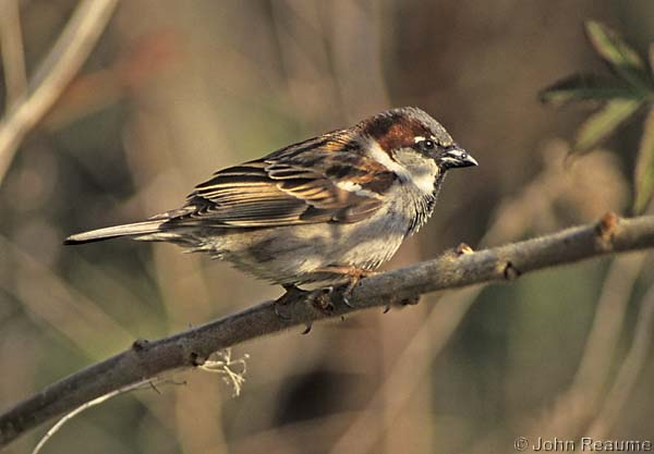 Photo (17): House Sparrow