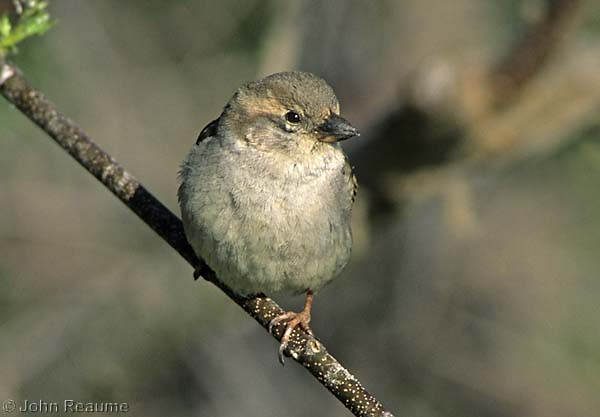 Photo (8): House Sparrow