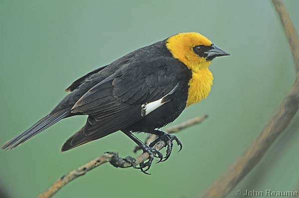 Photo (1): Yellow-headed Blackbird