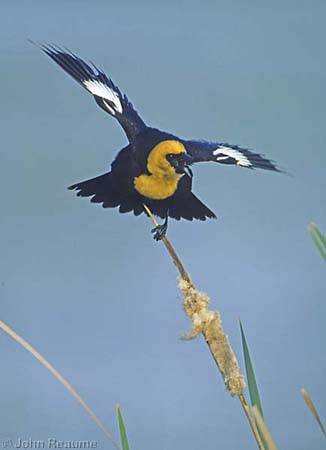 Photo (2): Yellow-headed Blackbird