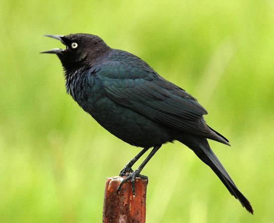 Photo (1): Brewer's Blackbird