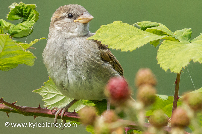 Photo (2): House Sparrow