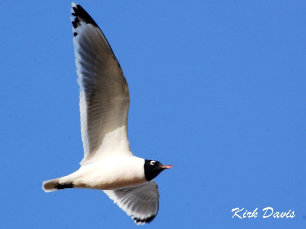 Photo (1): Franklin's Gull