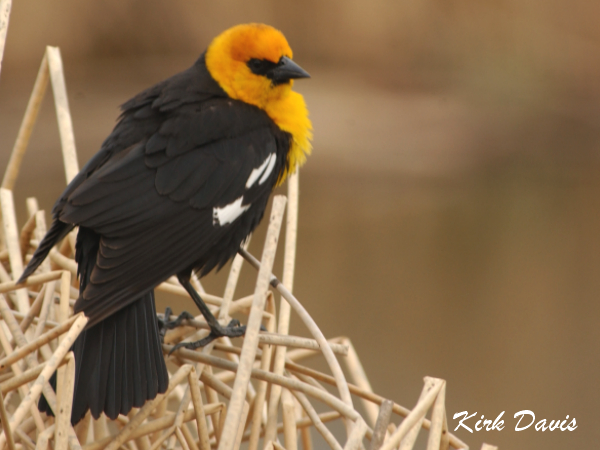 Photo (3): Yellow-headed Blackbird