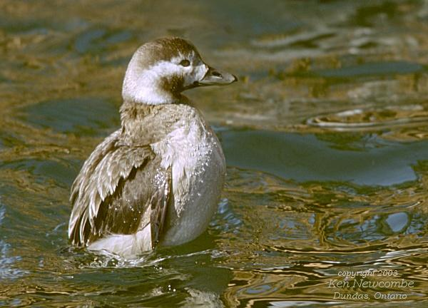Photo (7): Long-tailed Duck