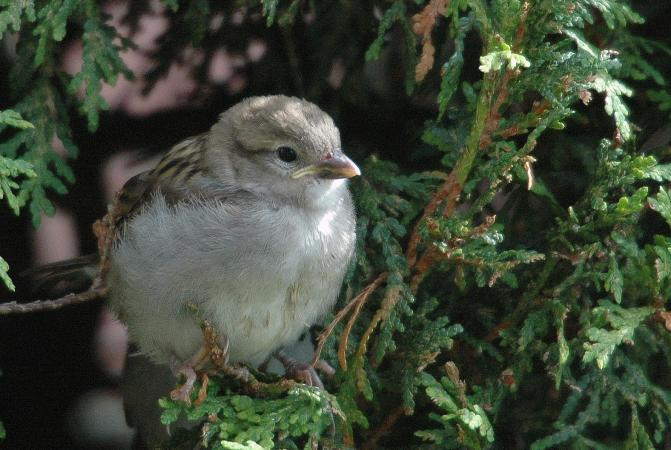 Photo (20): House Sparrow