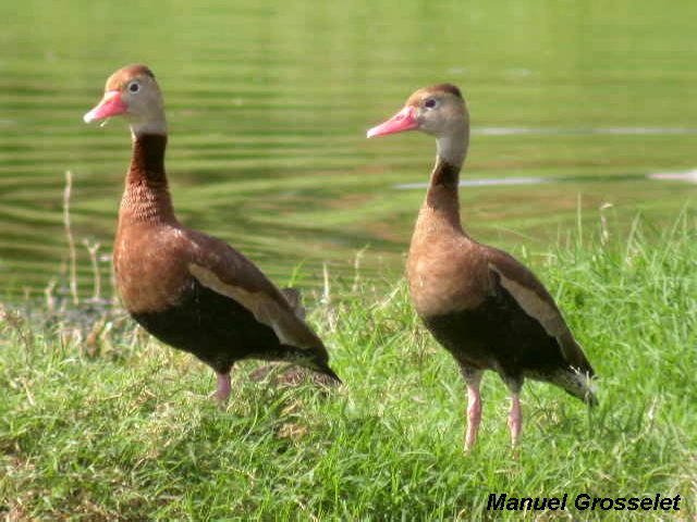 Photo (6): Black-bellied Whistling-Duck