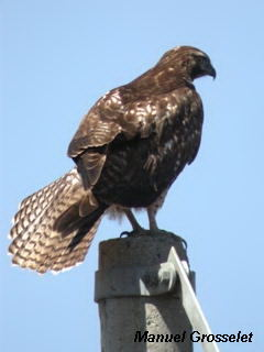 Photo (24): Red-tailed Hawk