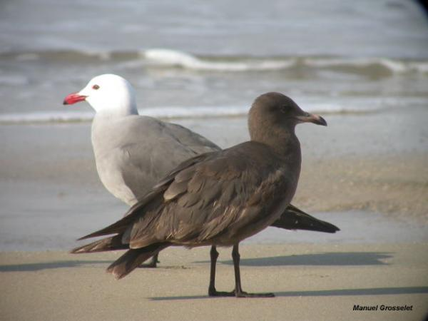Photo (14): Heermann's Gull