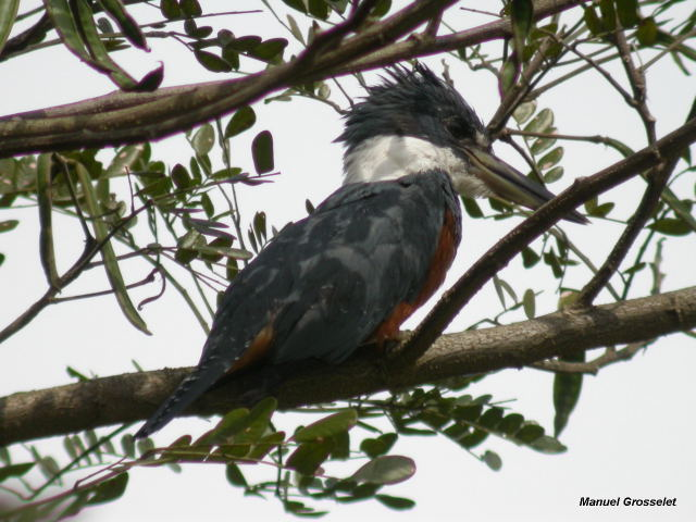 Photo (3): Ringed Kingfisher
