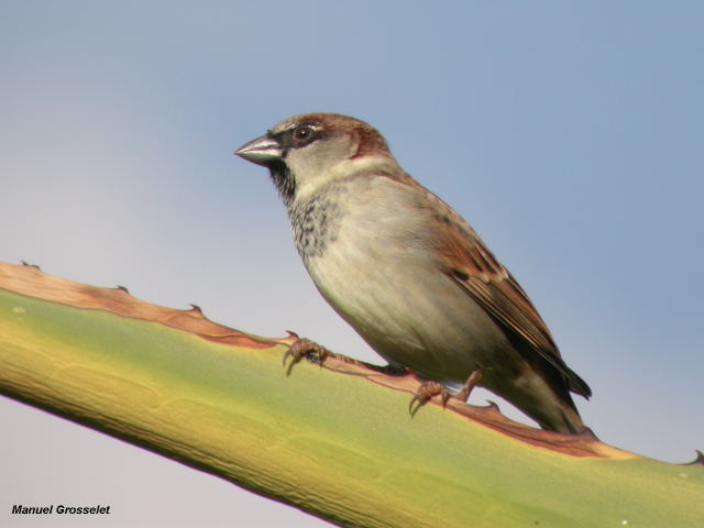 Photo (14): House Sparrow