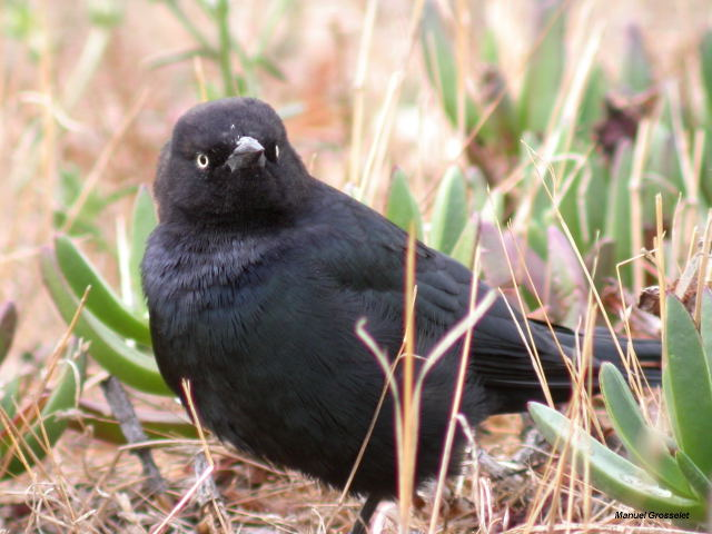 Photo (5): Brewer's Blackbird