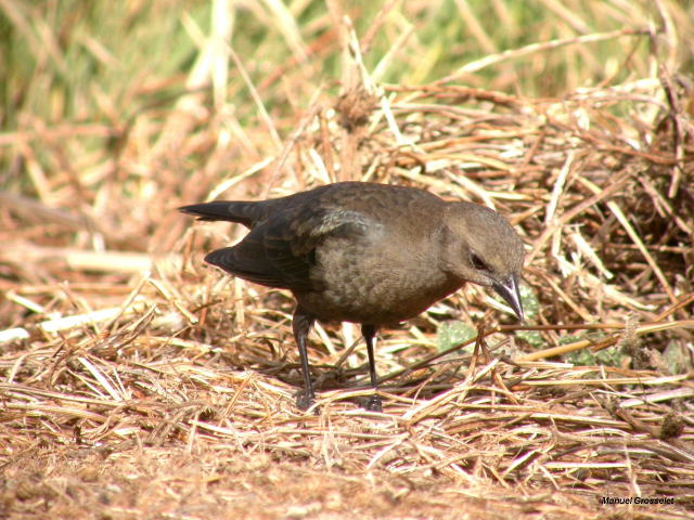 Photo (8): Brewer's Blackbird