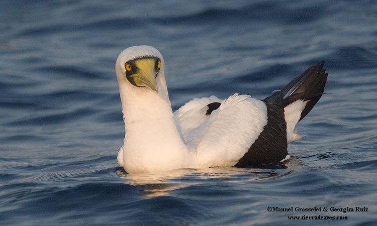 Photo (6): Masked Booby