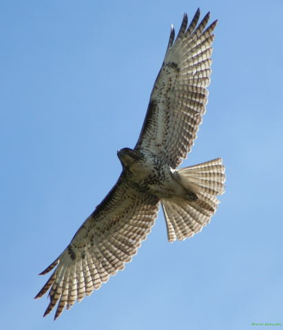 Photo (5): Red-tailed Hawk