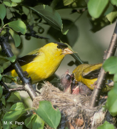 Photo (20): American Goldfinch