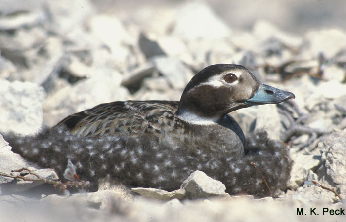 Photo (14): Long-tailed Duck