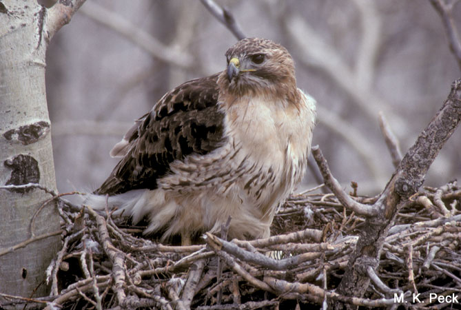 Photo (23): Red-tailed Hawk