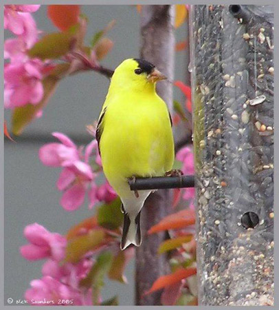 Photo (5): American Goldfinch