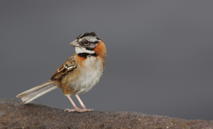 Photo (1): Rufous-collared Sparrow