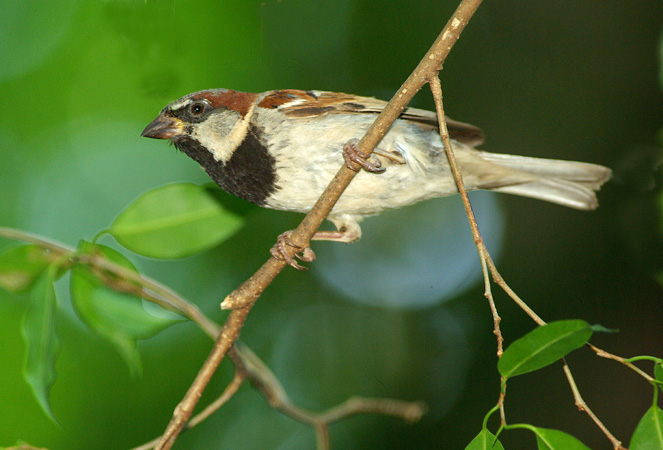 Photo (6): House Sparrow