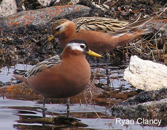 Photo (3): Red Phalarope
