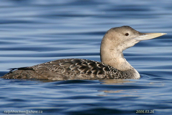 Photo (2): Yellow-billed Loon