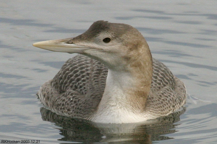 Photo (3): Yellow-billed Loon