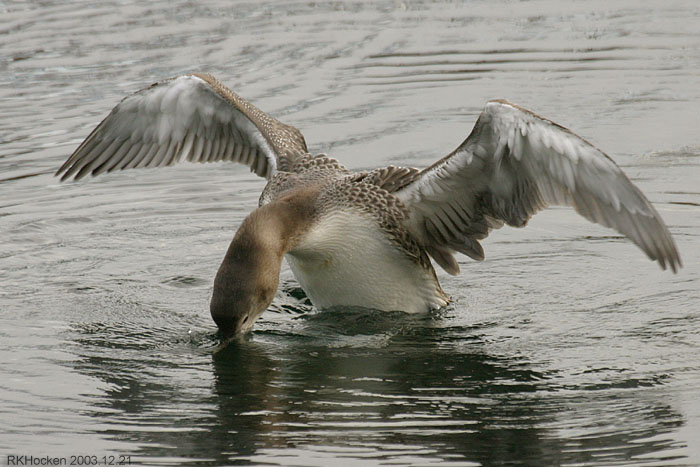Photo (4): Yellow-billed Loon