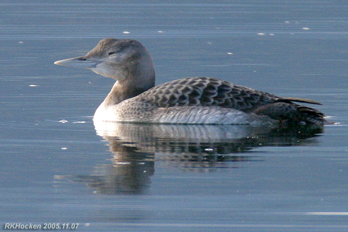 Photo (5): Yellow-billed Loon